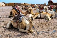 Camel parking Royalty Free Stock Image