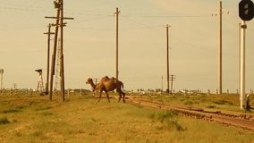 Camel passes through the railway. stock footage