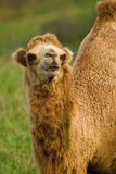 Camel in a pasture Stock Photography