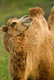 Camel in a pasture Royalty Free Stock Photos