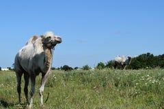Camel on a pasture Stock Photos