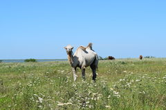 Camel on a pasture Royalty Free Stock Photos