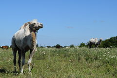 Camel on a pasture Royalty Free Stock Images