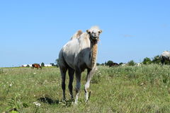 Camel on a pasture Royalty Free Stock Photo