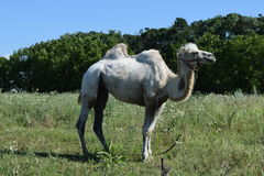 Camel on a pasture Royalty Free Stock Photography