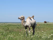 Camel on a pasture Stock Photo