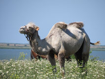 Camel on a pasture Stock Images