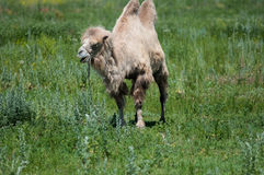 Camel on pasture Royalty Free Stock Photography