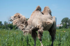 Camel on pasture Royalty Free Stock Photo
