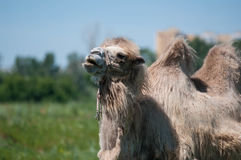 Camel on pasture Stock Images