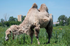 Camel on pasture Royalty Free Stock Photos