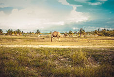 Camel on pasture. Lonely Camel on the pasture Stock Images