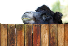 Camel peeking over a fence Royalty Free Stock Photos