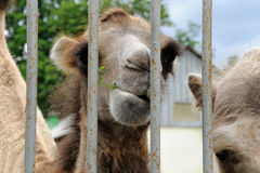 Camel peeks out from behind a rusty lattice Stock Photography