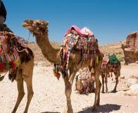 Camel in Petra canyon Stock Photos