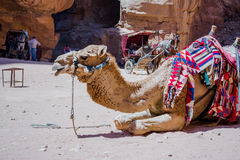 Camel in Petra canyon Stock Photography