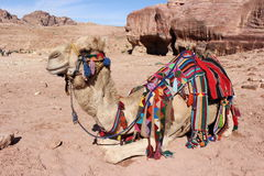 Camel in Petra, Jordan. A camel in Petra, Jordan Stock Photography