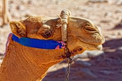 A Camel from Petra Jordan. A camel is an even-toed ungulate within the genus Camelus, bearing distinctive fatty deposits known as humps on its back. The two Stock Image