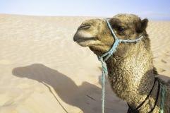 Camel. Photo desert camel resting after a long walk Stock Photo