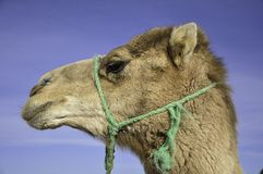 Camel. Photo desert camel resting after a long walk Royalty Free Stock Photos