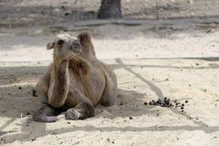 The camel Royalty Free Stock Photo
