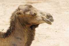 The camel Stock Photography