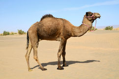 Camel in pink bridle Stock Photo