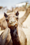 Camel portrait, Pushkar India. A portrait of a camel chewing during the annual camel trade festival, Pushkar, India royalty free stock image