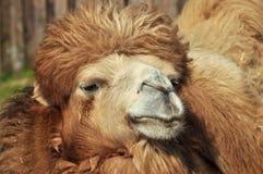 Camel portrait. A portait of a camel's face Stock Photography