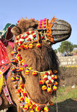 Camel portrait. Closeup photos of beautiful and ornate camel work Royalty Free Stock Photo