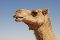 Camel Portrait Royalty Free Stock Photo