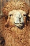Camel portrait 2. A portait of a camel's face Stock Photos