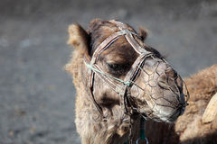 Camel portrait Stock Photography