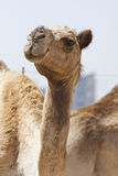 Camel portrait. Portrait of a brown camel in the Middle East Stock Image