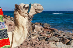 Camel portrait Stock Photo