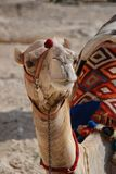 Camel portrait Stock Images