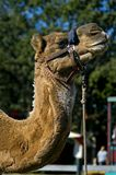 Camel Portrait. Head/Shoulder of camel (Camelus dromedarius royalty free stock photos