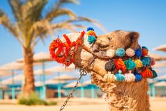 Camel portrait on the beach of Hurghada Stock Photography