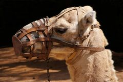 Camel portrait Stock Photos