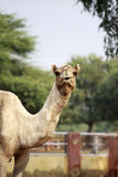 Camel Portrait,Bikaner,India. Royalty Free Stock Images