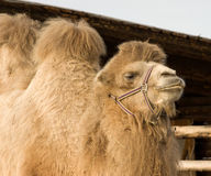 Camel. Stock Images