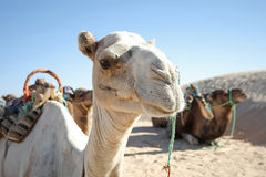 Camel portrait. Douz, Kebili, Tunisia - September 17, 2012 : Beduins leading tourists on camels at the Sahara desert. Camels are resting during break time on Stock Photos