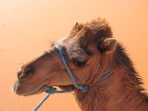 Camel portrait, Erg Chebbi Royalty Free Stock Image