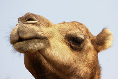 Camel. This is a portrait of camel face.and it is an even-toed ungulate within the genus Camelus, bearing distinctive fatty deposits known as humps on its back Stock Photography