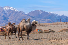 Camel portrait graze mountains Stock Photos
