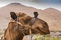 Camel portrait in jericho city. Jordan Valley West Bank Palestinian royalty free stock image