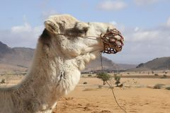 Camel portrait in Sahara, Morocco Africa royalty free stock images