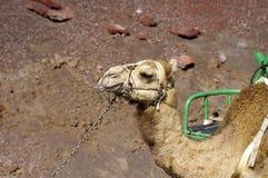 Camel, portrait, Timanfaya National Park, Lanzarote, Royalty Free Stock Images