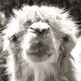Camel portrait (vintage sepia shot) Royalty Free Stock Photography