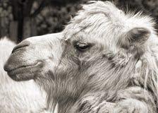 Camel portrait (vintage sepia shot) Royalty Free Stock Photography